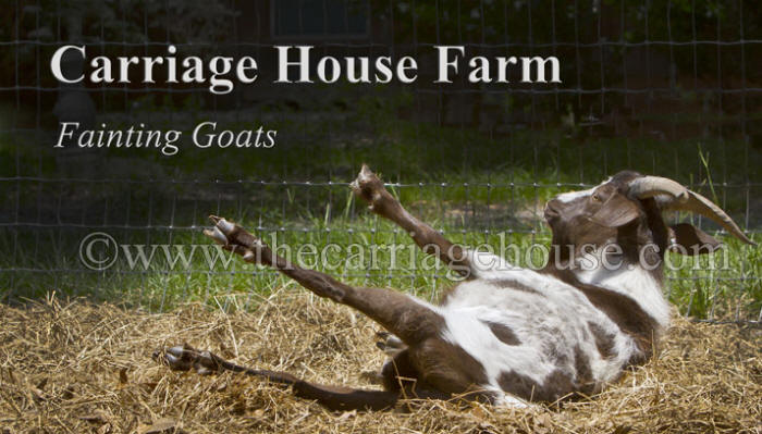 Carriage House Farm Fainting Goats
