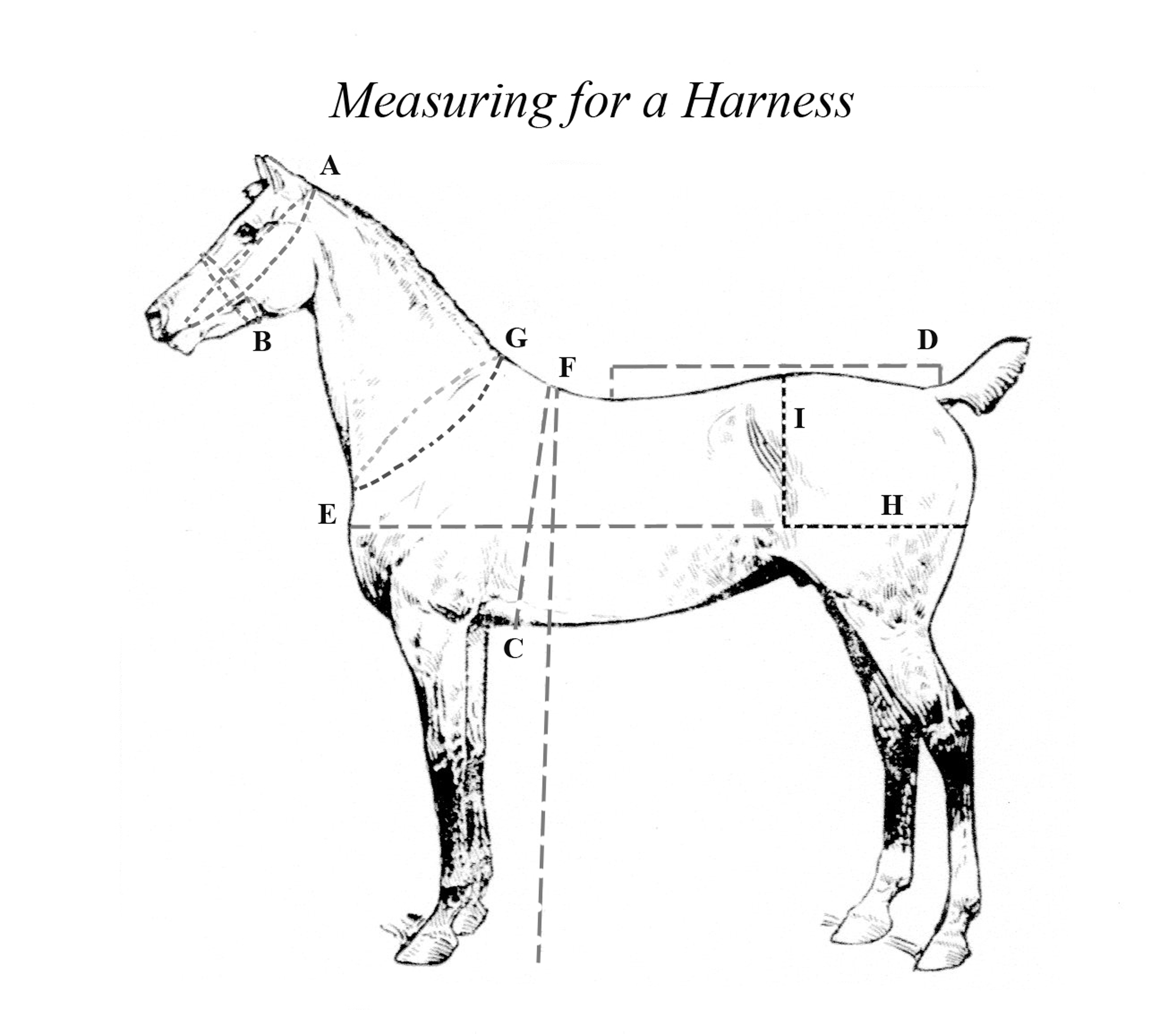 Horse Measurement Graphic for The Carriage House